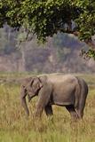 Indian Asian Elephant, Corbett National Park, India Photographic Print by Jagdeep Rajput