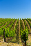 USA, Washington, Walla Walla. Vineyard in Walla Walla Wine Country Fotoprint van Richard Duval
