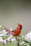 Northern Cardinal Male in Crabapple Tree, Marion, Illinois, Usa Lámina fotográfica por Richard ans Susan Day