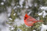 Northern Cardinal Male in Juniper Tree in Winter Marion, Illinois, Usa Fotografisk trykk av Richard ans Susan Day