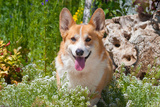 Pembroke Welsh Corgi Sitting in Garden in Garden Reproduction photographique par Zandria Muench Beraldo
