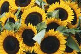 Washington, Seattle, Sunflower for Sale Pike Place Market at Summer Reproduction photographique par Jamie & Judy Wild