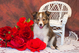 Shetland Sheepdog Sitting by a White Wicker Chair with Red Roses Reproduction photographique par Zandria Muench Beraldo