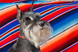 Schnauzer Portrait with Mexican Blanket Reproduction photographique par Zandria Muench Beraldo