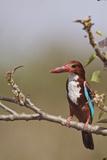 White Throated Kingfisher, Corbett National Park, India Photographic Print by Jagdeep Rajput