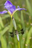 Common Whitetail Male on Blue Flag Iris in Wetland Marion Co. Il Fotografisk trykk av Richard ans Susan Day