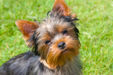 Yorkshire Terrier Looking Up at You Reproduction photographique par Zandria Muench Beraldo