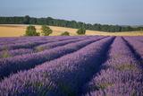 Rows of Lavender Near Snowshill, Cotswolds, Gloucestershire, England Fotografisk trykk av Brian Jannsen