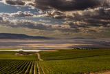 USA, Washington, Pasco. Vineyard in Eastern Washington Lámina fotográfica por Richard Duval