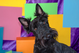 Scottish Terrier Portrait in Colors Reproduction photographique par Zandria Muench Beraldo