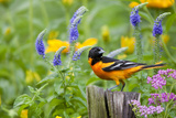 Baltimore Oriole on Post in Garden with Flowers, Marion, Illinois, Usa Fotografisk trykk av Richard ans Susan Day