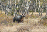 Grizzly Bear Traverses Meadow, Many Glacier Area, Glacier NP, Montana Impressão fotográfica por Howie Garber