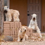 Soft Coated Wheaten Terriers Hanging Out Reproduction photographique par Zandria Muench Beraldo