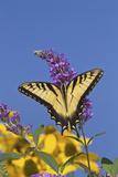 Eastern Tiger Swallowtail Butterfly on Butterfly Bush, Marion Co., Il Fotografisk trykk av Richard ans Susan Day