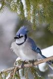 Blue Jay in Spruce Tree in Winter, Marion, Illinois, Usa Fotografisk trykk av Richard ans Susan Day