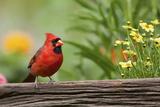 Northern Cardinal Male on Fence, Marion, Illinois, Usa Reproduction photographique par Richard ans Susan Day