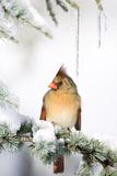 Northern Cardinal on Blue Atlas Cedar in Winter, Marion, Illinois, Usa Reproduction photographique par Richard ans Susan Day