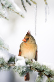 Northern Cardinal on Blue Atlas Cedar in Winter, Marion, Illinois, Usa Premium fotografisk trykk av Richard ans Susan Day