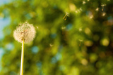 Dandelion in the Wind, with Tree Bokeh Photographic Print by  Lamarinx