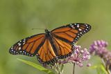 Monarch Butterfly Male on Swamp Milkweed Marion Co., Il Premium fotografisk trykk av Richard ans Susan Day