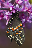 Black Swallowtail Newly Emerged on Eastern Redbud, Marion County, Il Fotografie-Druck von Richard ans Susan Day