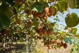 Ripe Kiwi Fruits Fotografisk trykk av  Lamarinx