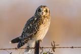Short-Eared Owl on Fence Post Prairie Ridge Sna, Marion, Illinois, Usa Reproduction photographique par Richard ans Susan Day