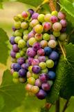USA, Washington, Okanogan Valley. Pinot Grapes in Veraison in Vineyard Fotoprint van Richard Duval