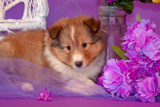 Shetland Sheepdog Puppy Lying in Purple Reproduction photographique par Zandria Muench Beraldo