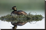 Black-necked Grebe calling while incubating eggs on floating nest, North America Toile tendue sur châssis par Tim Fitzharris