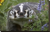 American Badger amid Lupine, North America Stretched Canvas Print by Tim Fitzharris