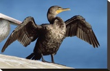 Double-crested Cormorant drying wings, California Toile tendue sur châssis par Tim Fitzharris