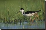 Black-necked Stilt wading through reeds, North America Toile tendue sur châssis par Tim Fitzharris