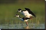 Black-necked Stilt couple mating, North America Toile tendue sur châssis par Tim Fitzharris