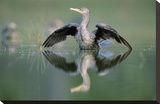 Double-crested Cormorant stretching its wings, North America Toile tendue sur châssis par Tim Fitzharris