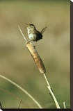 Marsh Wren singing while perching on a Common Cattail, Alberta, Canada Toile tendue sur châssis par Tim Fitzharris
