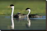 Western Grebe couple with one parent carrying chick on its back, New Mexico Toile tendue sur châssis par Tim Fitzharris
