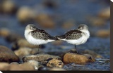 Western Sandpipers pair standing back to back with beaks tucked under wings, North America Reproducción de lámina sobre lienzo por Tim Fitzharris