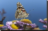 Painted Lady butterfly feeding on Purple Aster , California Stretched Canvas Print by Tim Fitzharris