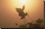 Wood Stork collecting nesting material, Everglades National Park, Florida Toile tendue sur châssis par Tim Fitzharris