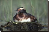 Horned Grebe parent calling while incubating eggs on floating nest, North America Toile tendue sur châssis par Tim Fitzharris