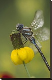 Southern Hawker Dragonfly on Prairie Coneflower , New Mexico Stretched Canvas Print by Tim Fitzharris