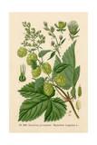 Plants, Humulus Lupulus Giclee Print