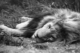 Sleeping Lion Fotografisk tryk