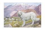 Pyrenean Sheep Dog Reproduction procédé giclée