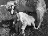Suckling Goat Impressão fotográfica