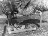 Emus and Chicks Reproduction photographique