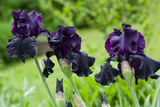 Purple Irises in Bloom Photo Print Poster Affiches