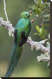 Resplendent Quetzal male, Costa Rica Toile tendue sur châssis par Tim Fitzharris