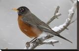 American Robin perching in snow storm, North America Stampa su tela di Tim Fitzharris